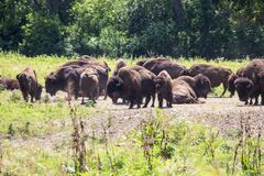 Herd of Bison on a Range royalty free stock photos