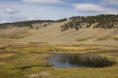 Herd of Bison. Resting near a pool of water on the plains of Yellowstone National Park Royalty Free Stock Photo