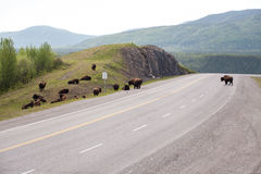 Herd of Bison on Road Stock Photos