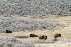 Herd of Bison Sitting in Valley. Bison grazing on grass next to small rock formations in Yellowstone National Park Royalty Free Stock Photography