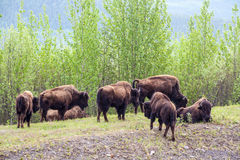 Herd of Bison Stock Photo