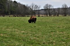 Herd of Bison Standing Near a Forest royalty free stock photography