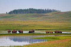 Herd of Bison Wandering in Wetlands of Yellowstone Stock Photos
