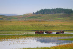 Herd of Bison Wandering in Wetlands of Yellowstone National Park Royalty Free Stock Photo
