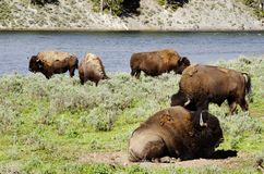 Herd of Bison  in Yellowstone national park USA Royalty Free Stock Images