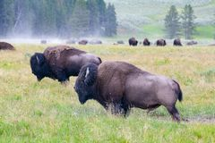 The herd bisons in Yellowstone National Park, Wyoming. USA royalty free stock images