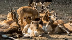 Herd of black bucks-India. Herd of black bucks, Indore-India. The blackbuck, also known as the Indian antelope, is an antelope found in India, Nepal and Pakistan stock photography
