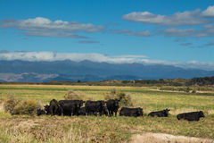 Herd Of Black Bulls Stock Photos
