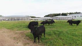 Herd of black bulls roaming on green fenced pasture at area of modern farmland. Herd of black bulls are roaming free on green fenced pasture and eating long stock video
