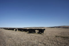 Herd of black cows Royalty Free Stock Photos