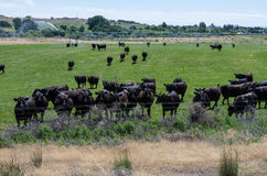 Herd of black cows gathers for feeding Stock Images