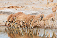Herd of black-faced impala. Is drinking at a waterhole in Etosha National Park Royalty Free Stock Photography