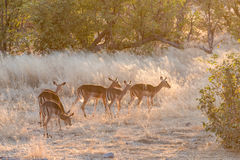Herd of black-faced impala at sunset Stock Images