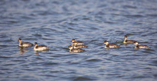 A Herd of Black-necked Grebe Royalty Free Stock Photography