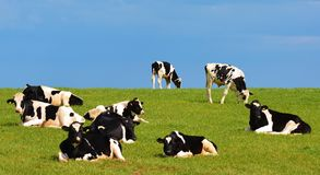 Herd Of Black and white cows against blue sky Stock Photo