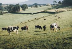 A herd of black and white cows on a grassland