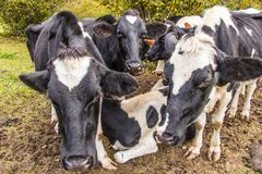 A herd of black and white cows looking at the camera.   in farm field Slovenia Royalty Free Stock Image