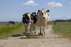 Herd of black and white cows walking royalty free stock images