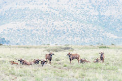 Herd of black wildebeest Stock Photography