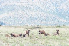 Herd of black wildebeest Stock Photography