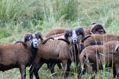 Herd of blackbellied sheep. Royalty Free Stock Photos