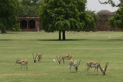 Herd of blackbuck antelopes on a field in India Stock Photos