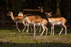Herd of Blackbuck Antilopes in a dark forest Royalty Free Stock Photos