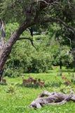 Herd of Blackfaced Impala in Chobe National Park, Botswana stock photos