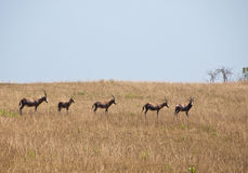 Herd of blesbucks in savannah Royalty Free Stock Image