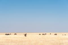 Herd of blue wildebeest, also called brindled gnu, between grass Stock Photos