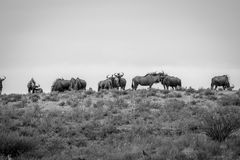 Herd of Blue wildebeest in black and white. Royalty Free Stock Images
