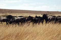 A herd of blue wildebeest bridled Gnu royalty free stock photos