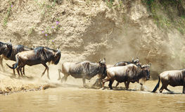 Herd of Blue Wildebeest (Connochaetes taurinus) Royalty Free Stock Image