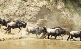 Herd of Blue Wildebeest (Connochaetes taurinus) Royalty Free Stock Image