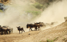 Herd of Blue wildebeest (Connochaetes taurinus) Royalty Free Stock Photography