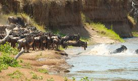 Herd of Blue Wildebeest (Connochaetes taurinus) Royalty Free Stock Images