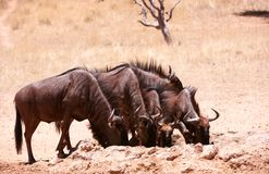 Herd of Blue wildebeest (Connochaetes taurinus) Stock Image