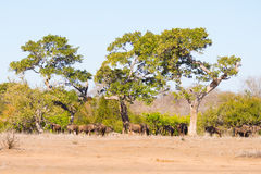 Herd of Blue Wildebeest grazing in the bush. Wildlife Safari in the Etosha National Park, famous travel destination in Namibia, Af Royalty Free Stock Image