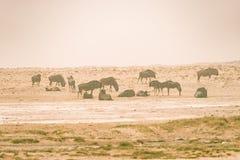 Herd of Blue Wildebeest grazing in the desert pan. Wildlife Safari in the Etosha National Park, famous travel destination in Namib Stock Photos