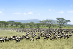 Herd of Blue Wildebeest migrating Royalty Free Stock Photo