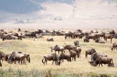 Herd of Blue Wildebeest in the Nogorongoro Crater Stock Photo