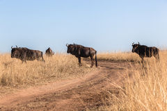 Herd Blue Wildebeest Road Grasslands Wildlife Animals royalty free stock photography