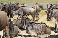 Herd of blue wildebeests Stock Photos