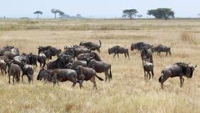 Herd of blue wildebeests grazing Stock Images