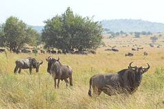 Herd of blue wildebeests grazing in Serengeti Royalty Free Stock Photography
