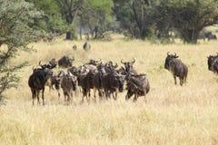 Herd of blue wildebeests grazing Royalty Free Stock Image