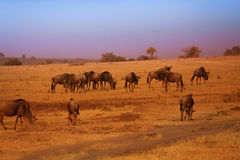 Herd of blue wildebeests during Great Migration stock images
