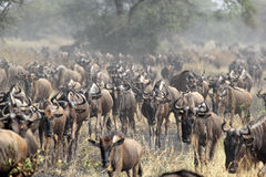 Herd of blue wildebeests during the great migration stock photography