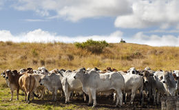 Herd of brahman beef cattle cows Royalty Free Stock Photos