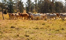 Herd of Brahman beef cattle moving across paddock Royalty Free Stock Photo